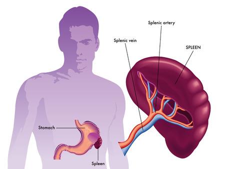visceral: spleen