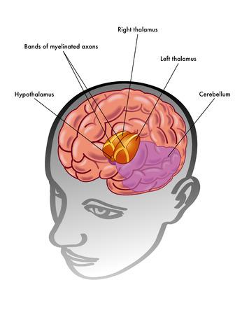 thalamus: thalamus & hypothalamus