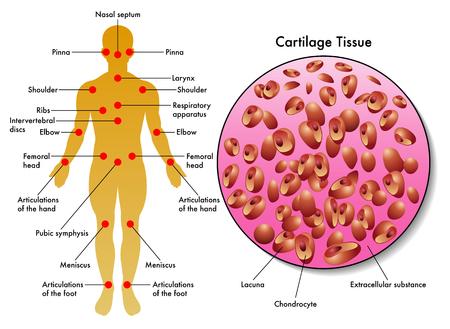 cartilage tissue