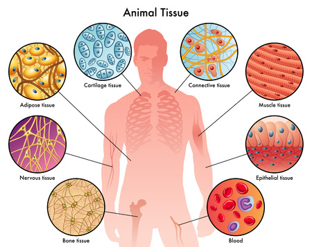 bones: animal tissues