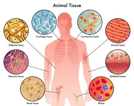 huesos: tejidos animales