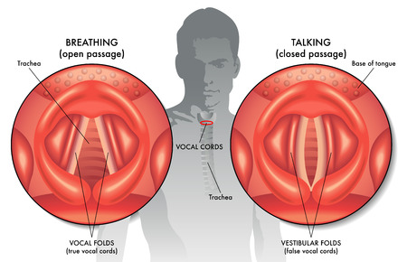 vestibular: vocal folds