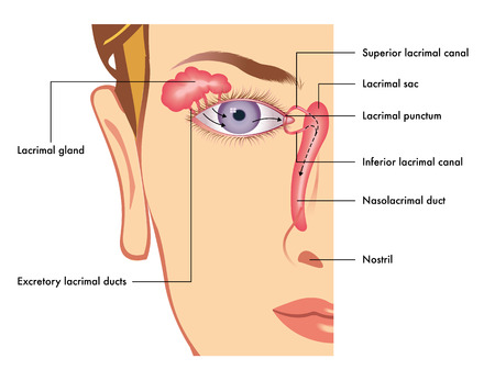 inferior: lacrimal apparatus