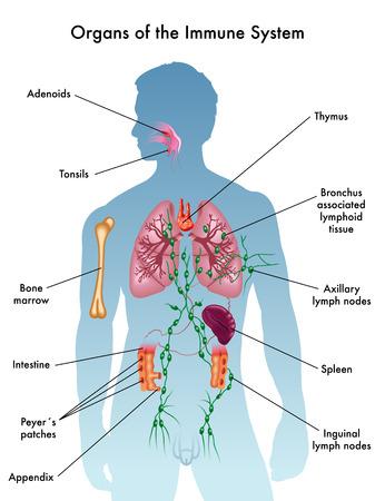 免疫系の臓器  イラスト・ベクター素材