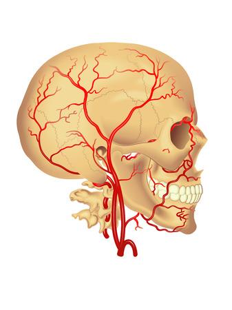arteria carotidea Vettoriali
