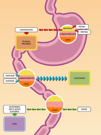 Digestive process diagram Stock Illustratie