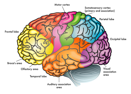 Areas of the brain and functions illustration.