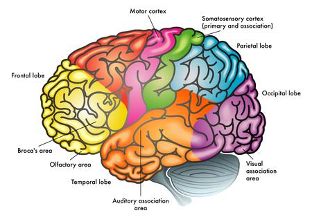 Áreas del cerebro y las funciones ilustración. Ilustración de vector