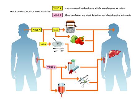 Mode d'infection de l'hépatite virale.