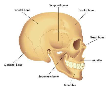 Basic skull anatomy Фото со стока - 84059031