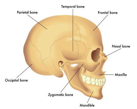 Basic skull anatomy