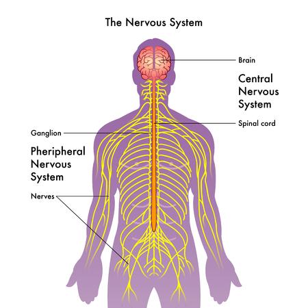 Zenuwstelsel vector
