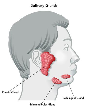 Illustration vectorielle d'une glande salivaire et de son emplacement, isolée sur fond blanc.