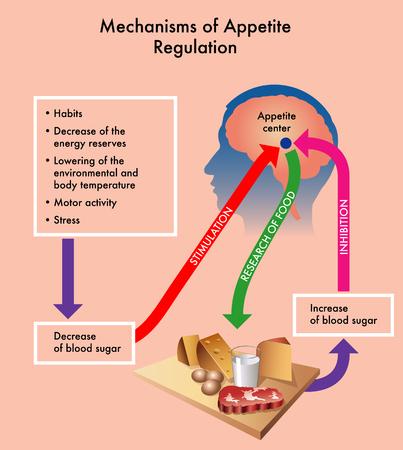 Medical diagram showing the mechanisms of appetite regulation. Illustration