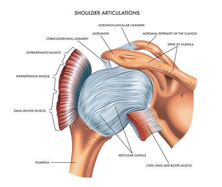 A detailed medical illustration of shoulder articulations.
