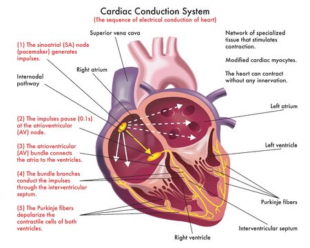 Diagram of Cardiac Conduction System (the sequence of electrical conduction of heart) with annotations.