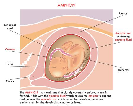 Medical illustration of the amnion with annotations explaining its function during the pregnancy of the woman. Stock Illustratie