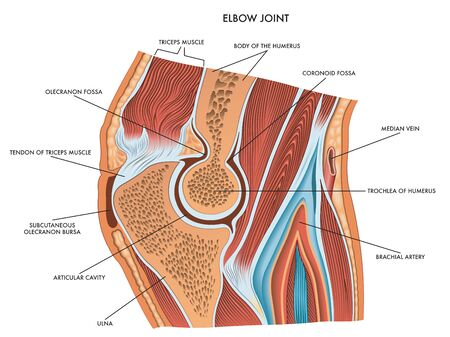 Medical diagram of elbow joint with a description of the principal component parts,