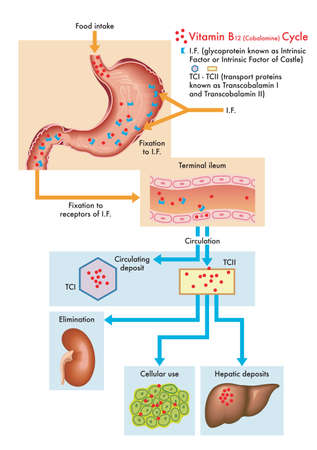 Medical diagram of the cycle of vitamin B12 in the human body.