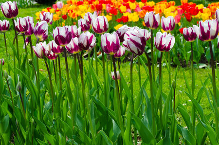 Multi coloured tulips on nature background  photo