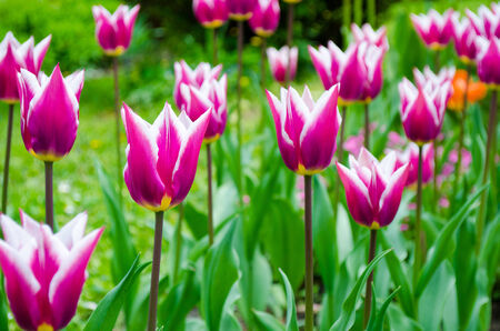 White-Violet tulips photo