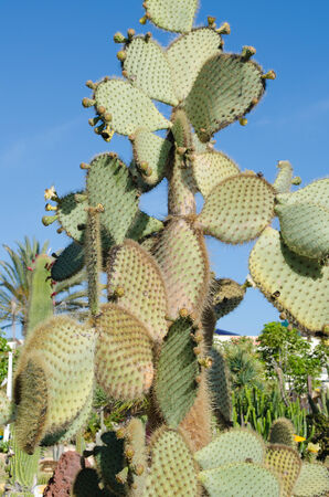 Prickly Pear Cactus, aka, Nopal in Tenerife, Spain photo