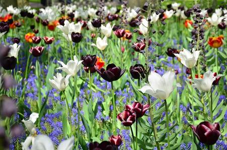 flor violeta: Tulipanes blancos negros en el jard�n de Keukenhof de Lisse Holanda