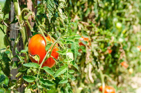 homegrown: Homegrown red fresh tomato in a farmer garden. Stockfoto