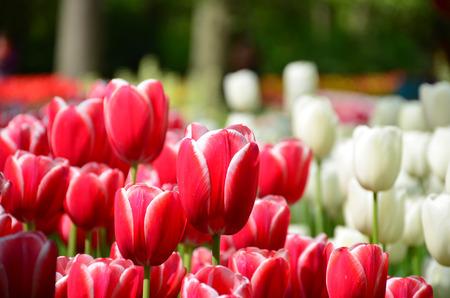 botanical garden: Beautiful spring tulip flowers in Keukenhof park in Netherlands Holland Stock Photo