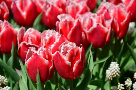 keukenhof: Keukenhof garden. Fringed red tulips