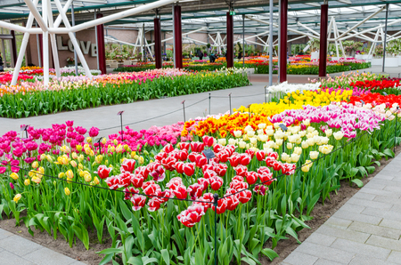 Keukenhof garden, Netherlands -April 05: Colorful flowers and blossom in dutch spring garden Keukenhof which is the worlds largest flower garden. Keukenhof Garden, Lisse, Netherlands - April 05, 2017