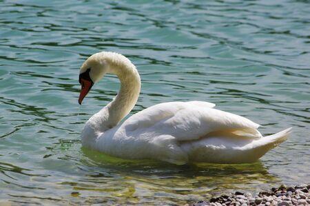 White swan on the lake.