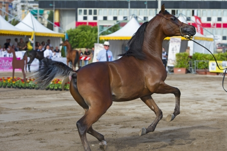 light brown horse: Arabian horse show in Salerno