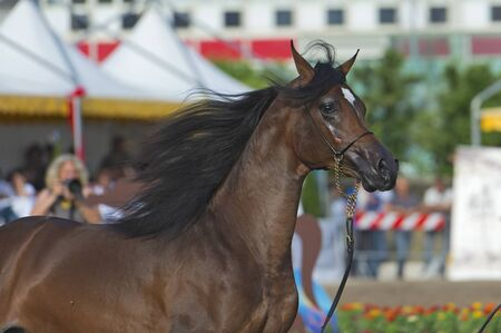 Arabian horse show in Salerno photo