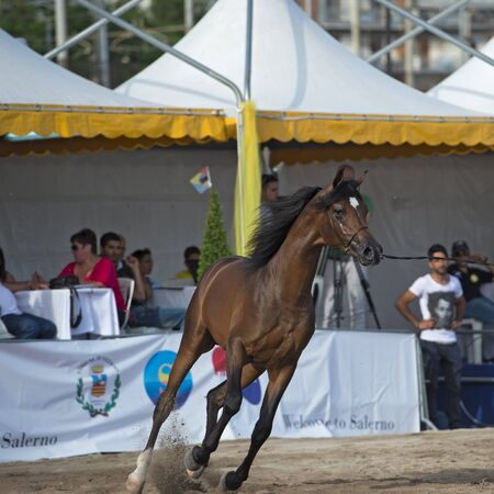 light brown horse: Arabian horse show in Salerno