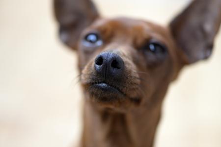pincher: pincher dog breed