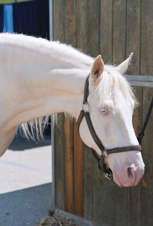 Arabian horses photo