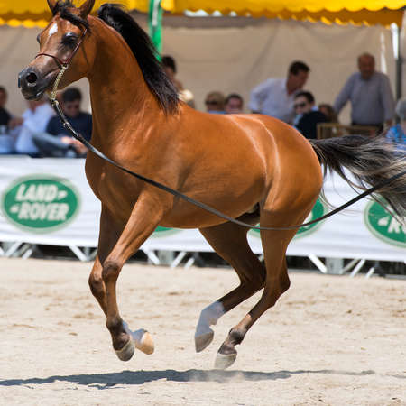 Arabian horses photo