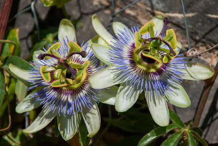 Beautiful Passion Flower (Passiflora caerulea) Banque d'images