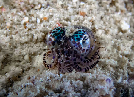 A tiny Bobtail Squid (Sepiolida sp.) on the sea floor