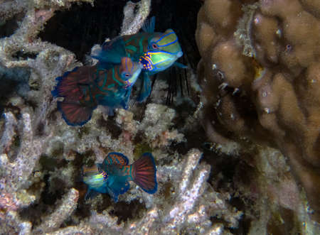 Colourful Madarinfish (Synchiropus splendidus) on a night dive in the Philippines