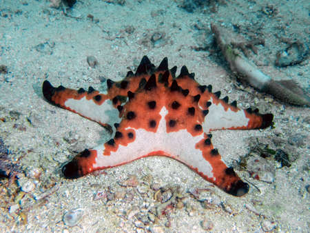 Horned Sea Star (Protoreaster nodosus)