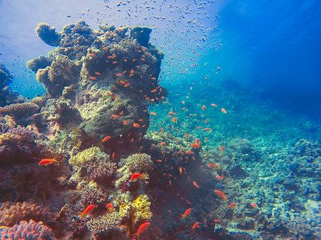 Golden Anthias (Pseudanthias squamipinnis) in the Red Sea