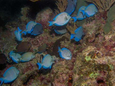 Blue Caribbean Tang (Acanthurus coeruleus)