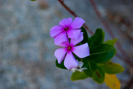 Church Flowers (Catharanthus roseus) in South Africa