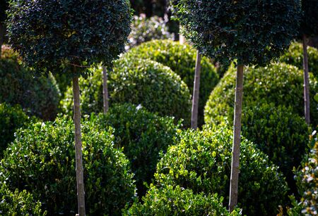 abstract background of round and standard box plants trimmed into round shapes,concept gardening.
