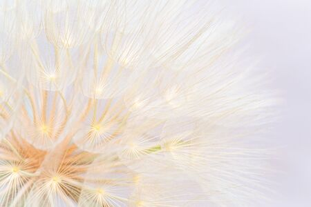 Close up of giant dandelion seed head, spring summer abstract background.