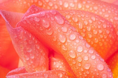 close up abstract of fresh rose covered in dew, background ,spring, Banque d'images