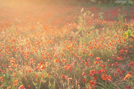 Poppy field in the eveing light. Provence , France.