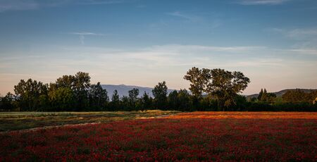 Field or red poppy flowers in Provence ,France.with mount ventoux in background. Banque d'images